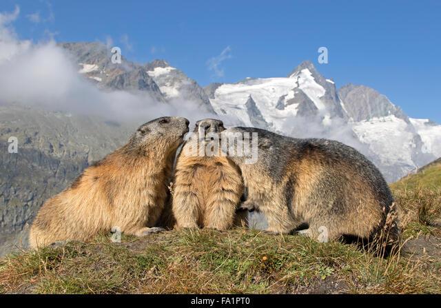 Alpine marmot in front of Großglockner, High Tauern National Park, Carinthia, Austria, Europe / Marmota marmota - Stock Image