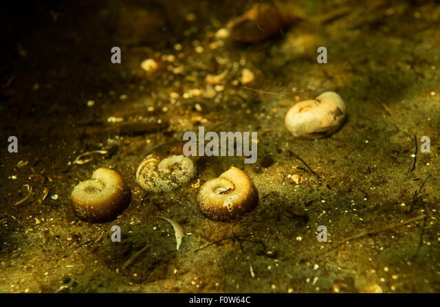 Empty Great rams horn snail (Planorbarius corneus) shells laying on ...