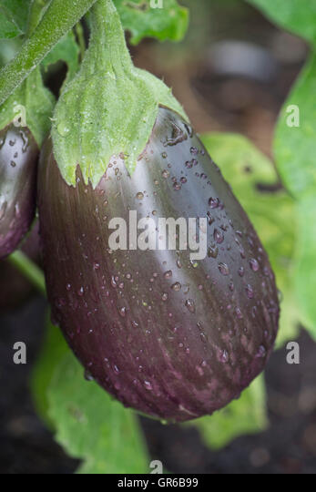 Aubergine fruit with purple marbled colouration, labelled 'Black beauty' , September - Stock Image