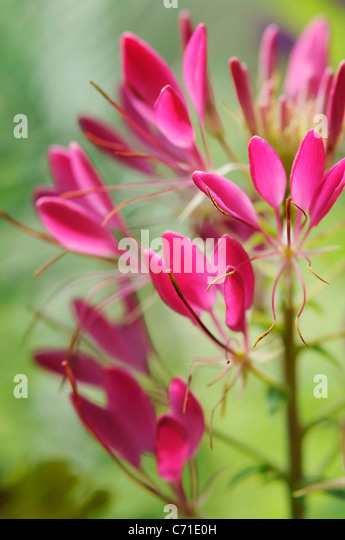 Cleome hassleriana Spider flower Pink flowers on upright stems. - Stock Image