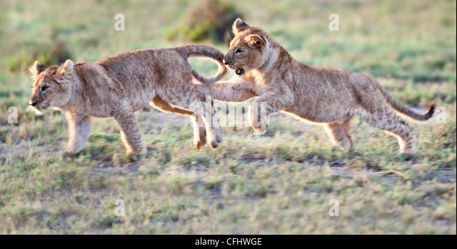 African Lion cubs, around 4 months old, playing together, Big Marsh, Serengeti, Tanzania - Stock Image