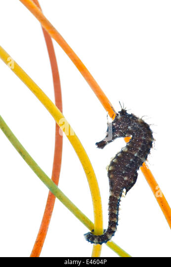 A young Spiny / Yellow / Longsnouted Seahorse (Hippocampus guttulatus), in an aquarium attached to plastic seagrass - Stock Image