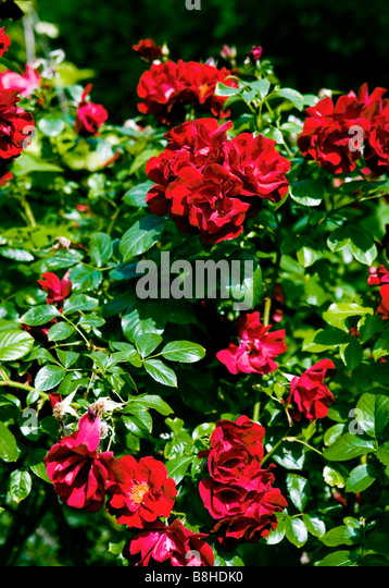 Flowering red roses - Stock Image