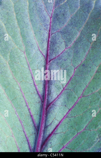 Cabbage redcap leaf pattern - Stock Image
