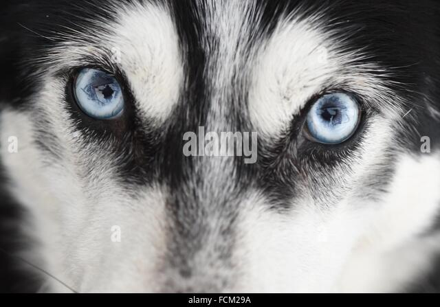 Unterjoch, Germany. 23rd January, 2016. A Siberian husky pictured at the dog sled racing in Unterjoch, Germany, - Stock Image