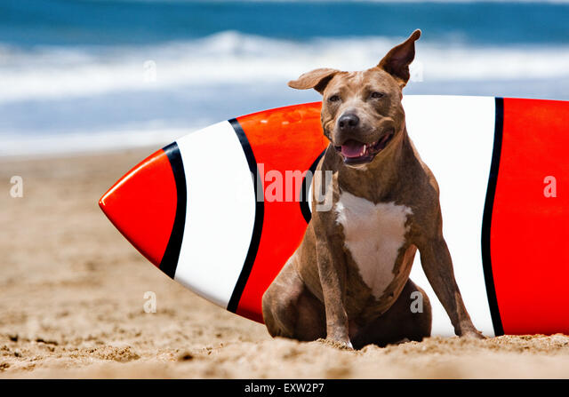 Smiling brown brindle Pitbull dog sitting in front of orange and white surf board at the beach - Stock Image