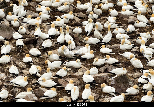 Northern Gannets (Morus bassanus) Cape St. Mary's Ecological Reserve, Cape St. Mary's, Avalon Peninsula, - Stock Image