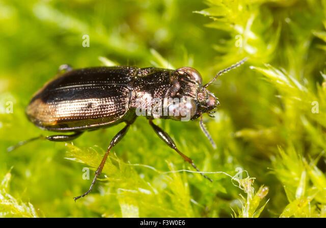 Big-eyed Bronze Ground-beetle (Notiophilus biguttatus) amongst moss. Powys, Wales. May. - Stock-Bilder
