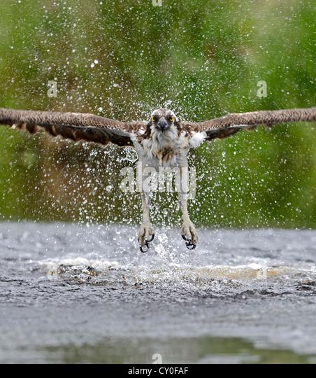Osprey Pandion haliatus fishing Inverdruie Fish Farm Speyside Scotland July - Stock Image