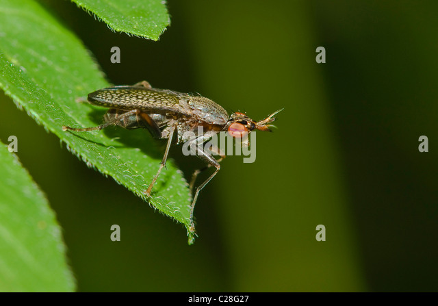 Snail-killing Fly (Coremacera marginata) on a leaf. - Stock Image