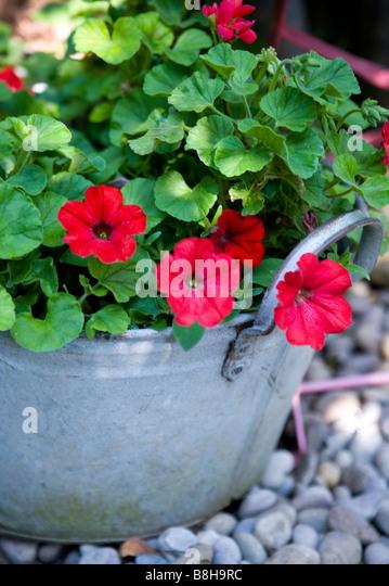 Geranium Pelargonium - Stock Image