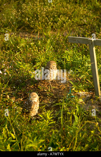 Burrowing owl Athene cunicularia next to man made perch - Stock Image
