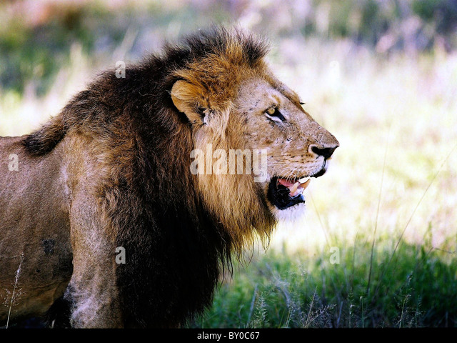MALE LION (PANTHERA LEO) AFRICA'S LARGEST PREDATOR . MALA MALA GAME RESERVE.KRUGER NATIONAL PARK.SOUTH AFRICA. - Stock Image