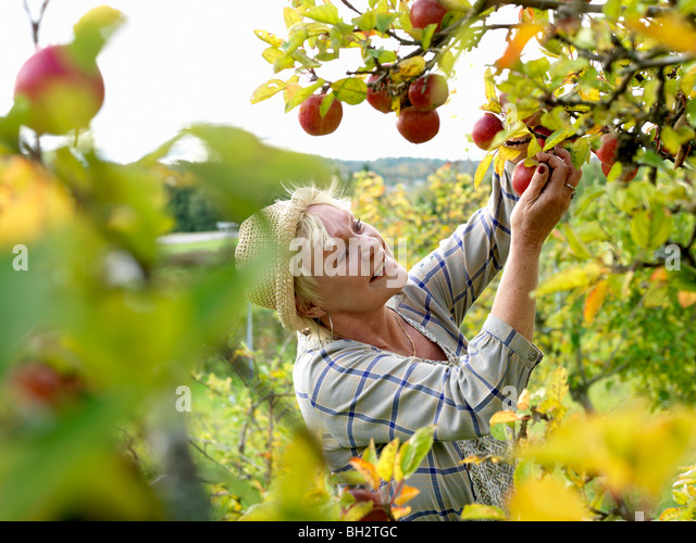 Mature woman picking apples - Stock Image