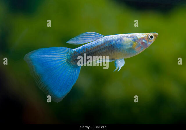 ... reticulatus, Lebistes reticulata), breed form Neon Blue - Stockbild