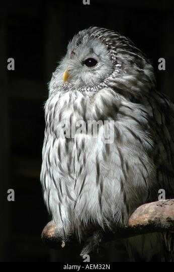 Ural owl Strix uralensis - Stock-Bilder