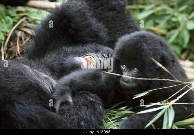 Mountain gorilla mother and baby Parc des Virungas Democratic Republic of Congo - Stock-Bilder