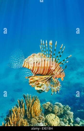 Lionfish over Reef, Pterois volitans, Dahab, Sinai, Red Sea, Egypt - Stock Image