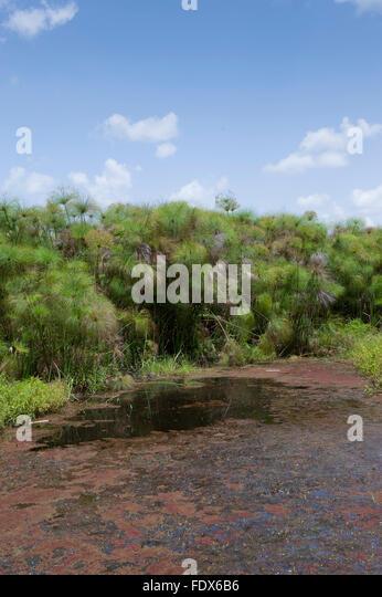 Paparyus swamps in Uganda. - Stock Image