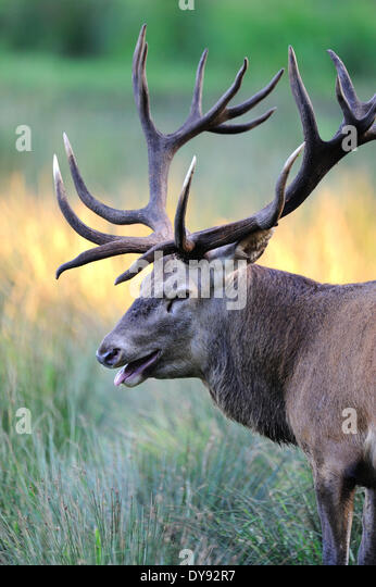 Red deer antlers antler Cervid Cervus elaphus deer stag stags hoofed animals autumn cloven-hoofed animal animal - Stock Image