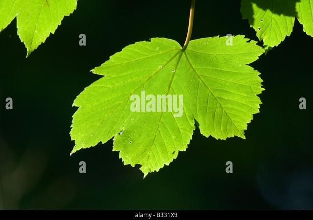 Sycamore Leaves in spring Norfolk April - Stock-Bilder