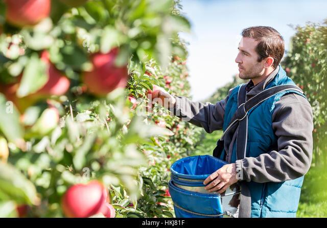 Male farmer harvesting apples in sunny orchard - Stock-Bilder