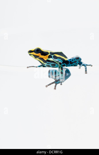 dyeing poison frog and its habitat Poison dart frog (also known as dart-poison frog , poison frog or formerly known as poison arrow frog ) is the common name of a group of frogs in the family dendrobatidae which are native to tropical central and south america .