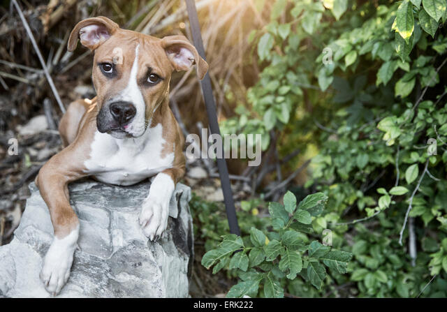 Portrait of light brown white puppy laying on a rock in rich scene of green plants and foliage in garden with warm - Stock Image