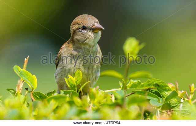 Juvenile House Sparrow (Passer domesticus) perched in a bush in early Summer in the south of England, UK. - Stock Image