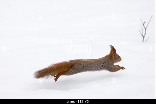 Red Squirrel Sciurus vulgaris running across snow Finland winter - Stock Image