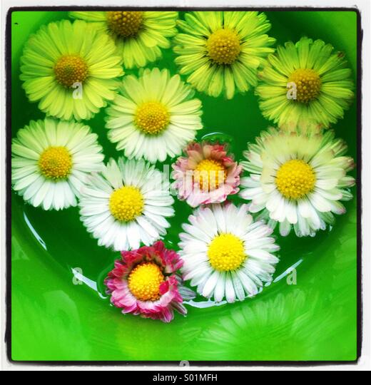 Daisies collected in a cup floating in water - Stock Image