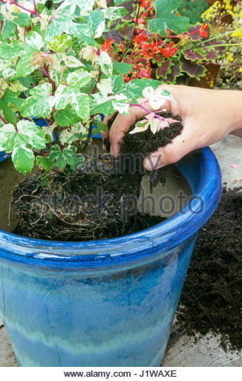 POTTING ON AN AMPELOPSIS PLANT SEQUENCE ' 3 FILL AROUND ROOTS WITH COMPOST - Stock Image