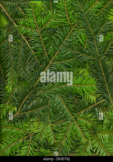 Background from twigs of fir (Abies alba) - Stock Image