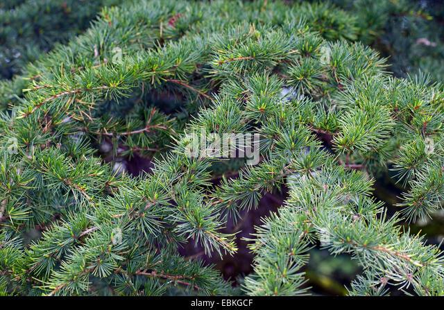 Cedar of Lebanon, Lebanon cedar (Cedrus libani, Cedrus libanotica), branch - Stock Image