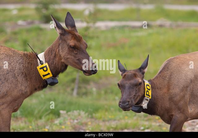 Rocky Mountain National Park Colorado Two radio collared cow elk - Stock Image