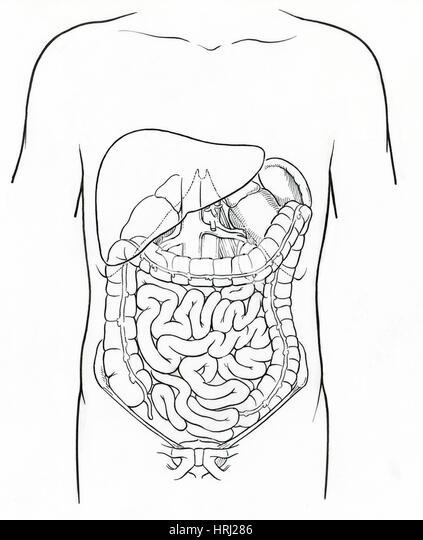 Illustration of Abdomen - Stock Image