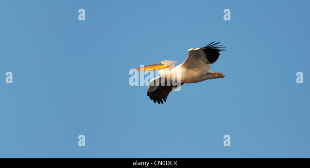 Great White Pelican (Pelecanus onocrotalus) flying against blue sky. - Stock Image