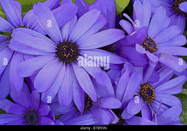 Manipulated cineraria flowers - Stock Image