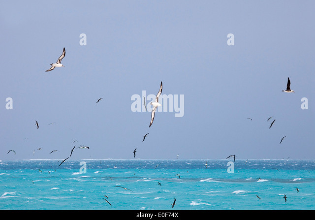 Laysan (Phoebastria immutabilis) and Black-footed (Phoebastria nigripes) Albatrosses soaring over the ocean along - Stock Image