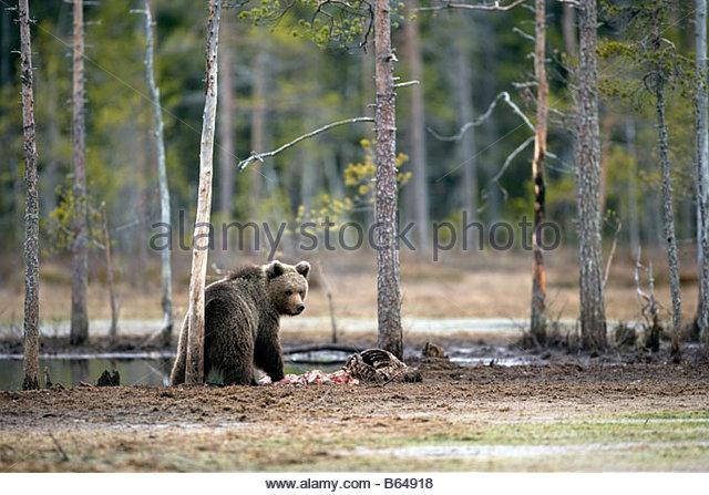 Finland, Kuikka Lake, near Kuhmo. Arcticmedia. Centre for tourism and wildlife photography, Brown bear (Ursus arctos). - Stock Image