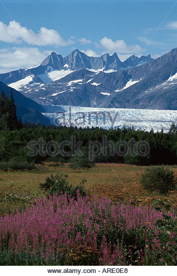 Alaska Juneau Tongass National Forest Mendenhall Glacier fireweed - Stock Image