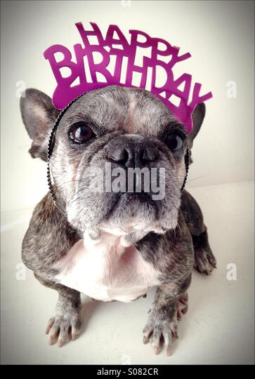 An old French bulldog wearing a birthday tiara. - Stock Image