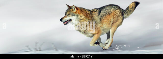 European gray wolf (Canis lupus lupus), wolf running over snow - Stock Image