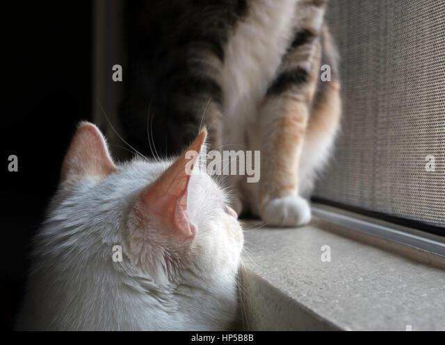 japaneese bobtail cat