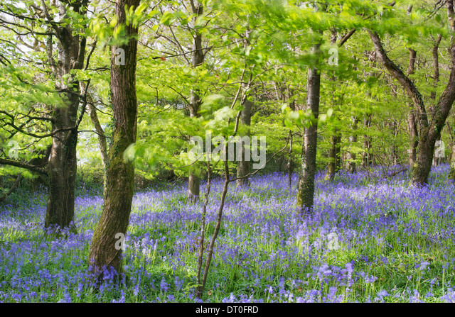 Delicate bluebells swaying in the breeze - Stock Image