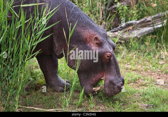 South Africa, near Rustenburg, Pilanesberg National Park. Hippo, Hippopotamus. (Hippopotamus amphibius). - Stock-Bilder