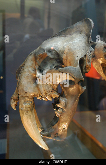 Skeleton of an extinct sabre-toothed tiger (Smilodon) seen at the Natural History Museum in London, England, UK. - Stock Image