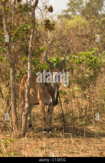 Giant eland (Taurotragus derbianus) also known as Lord Derby eland  Fathala Game Reserve Northern Senegal - Stock Image