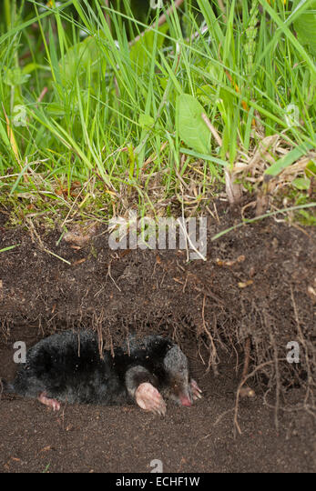 northern mole stock photos northern mole stock images alamy. Black Bedroom Furniture Sets. Home Design Ideas