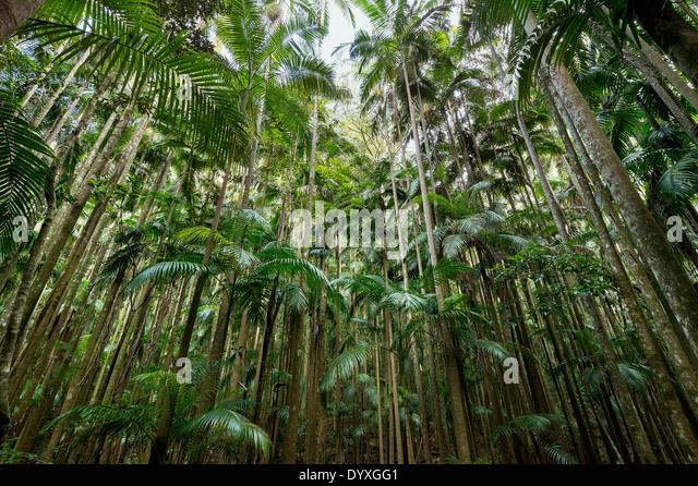 Rainforest tree canopy, QLD Australia - Stock Image